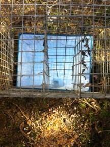 how to build an indian myna bird trap