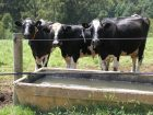 Cows_141461_01.JPG