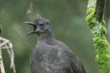 The Toomuc Valley Landcare Group will conduct a survey of lyrebirds at R.J. Chambers Reserve. Picture: ALEX MAISEY
