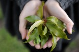 Tara holding some Anise Myrtle. 144740 Pictures: STEWART CHAMBERS